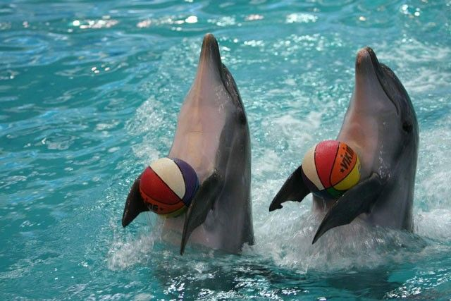 dolphins with basket balls