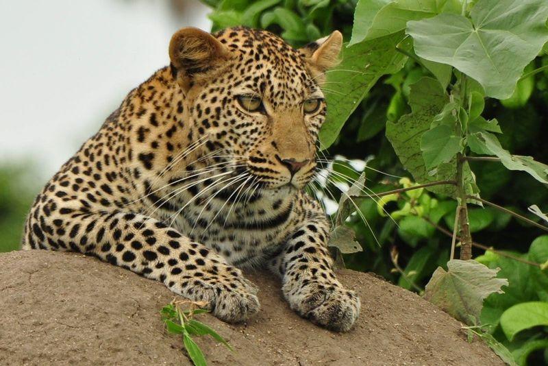 leopard in ngorongoro