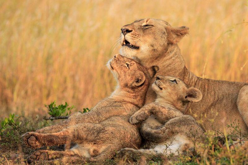 Lion safari in Kenya