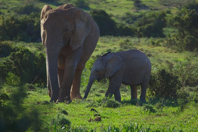mother and baby elephant  in addo national park
