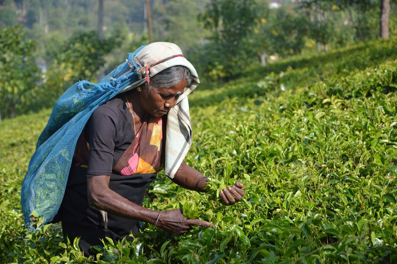 tea-farm-sri-lanka