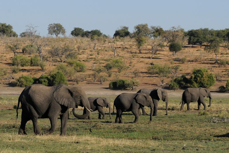 elephants in chobe national park botswana