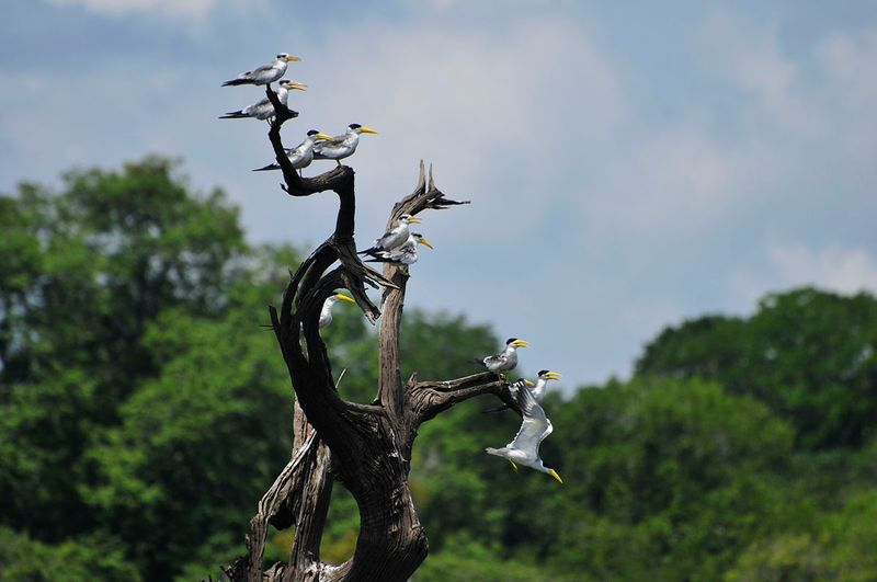 birds in the amazon in brazil
