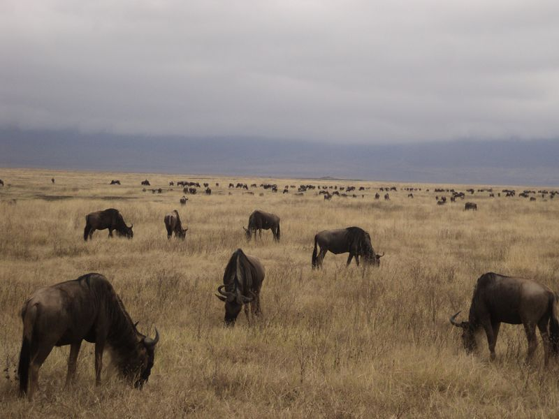 cape buffaloes in serengeti