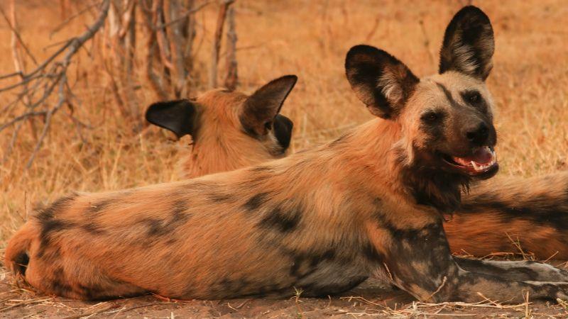 African wild dog on Safari in Botswana
