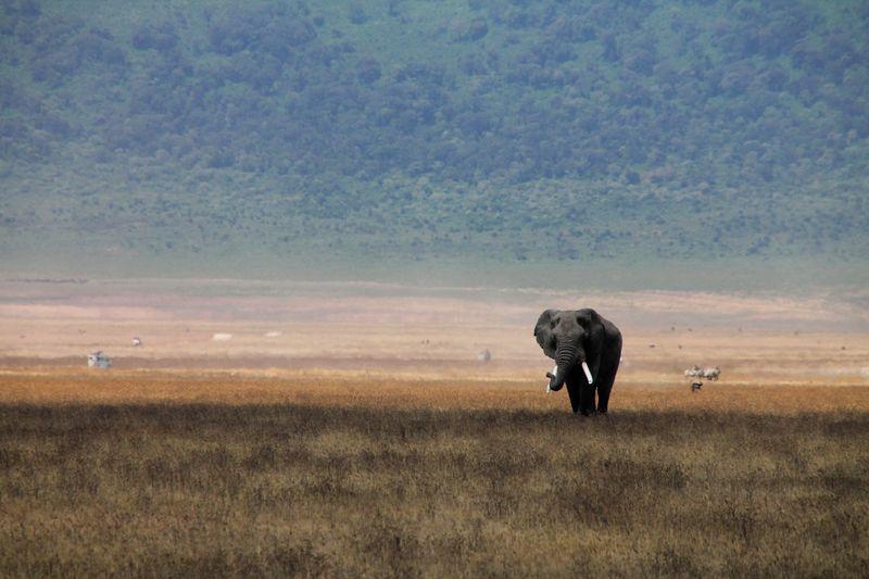 elephant in ngorongoro crater, tanzania