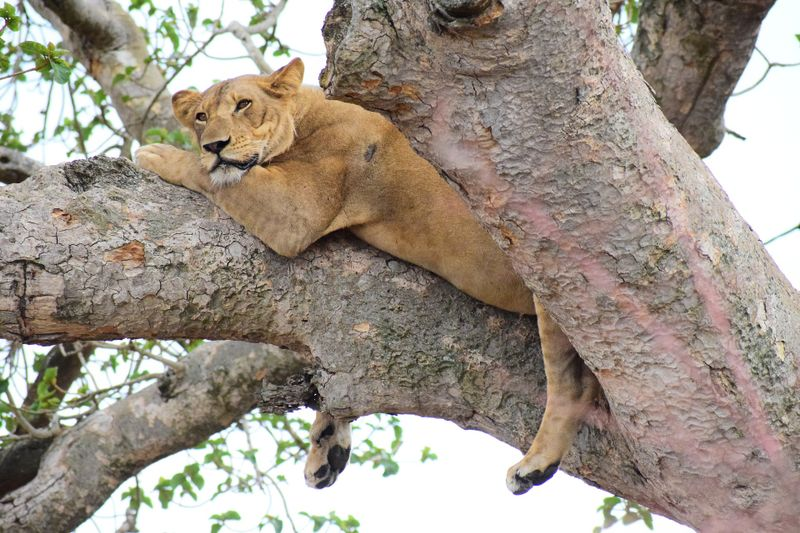 climbing lion in uganda
