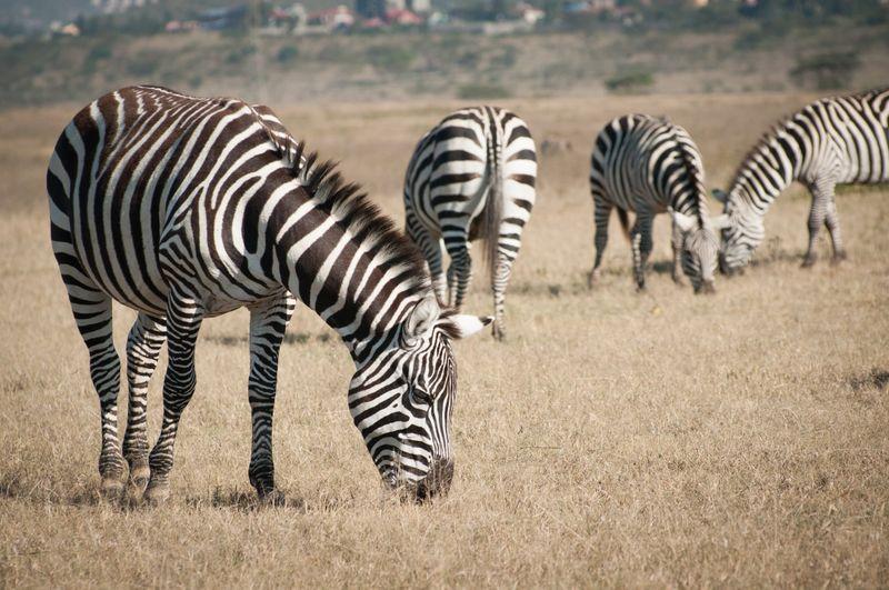 zebras-lake-nakuru-kenya