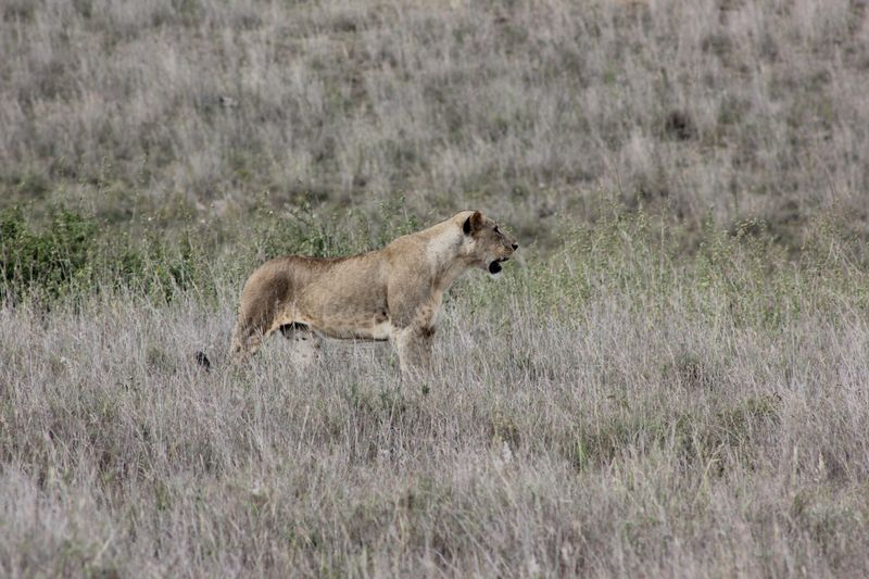 lioness in masai mara kenya