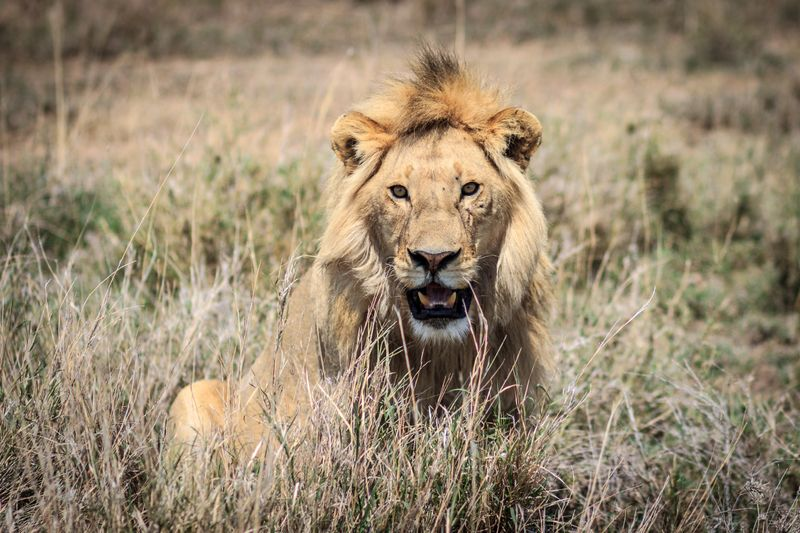 lion in the serengeti