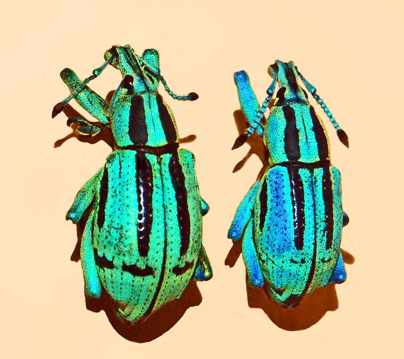 Smurf Bug