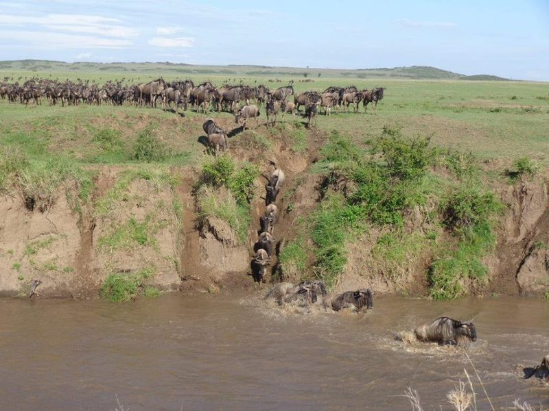 river crossing during the migration in kenya
