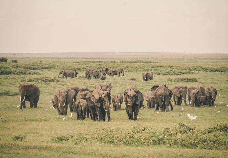 elephants in amboseli national park kenya