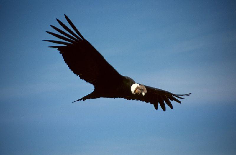 andean condor in peru