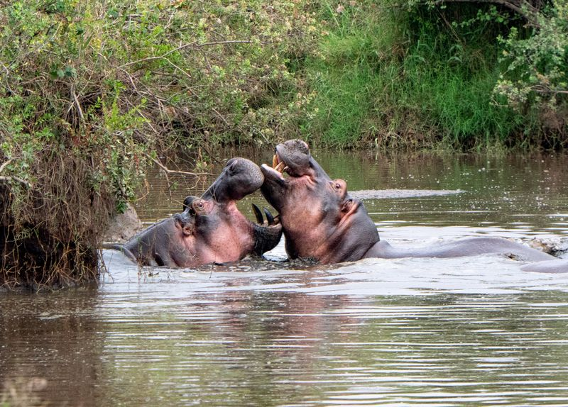 hippos in serengeti