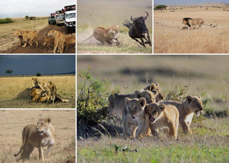lions in masai mara kenya