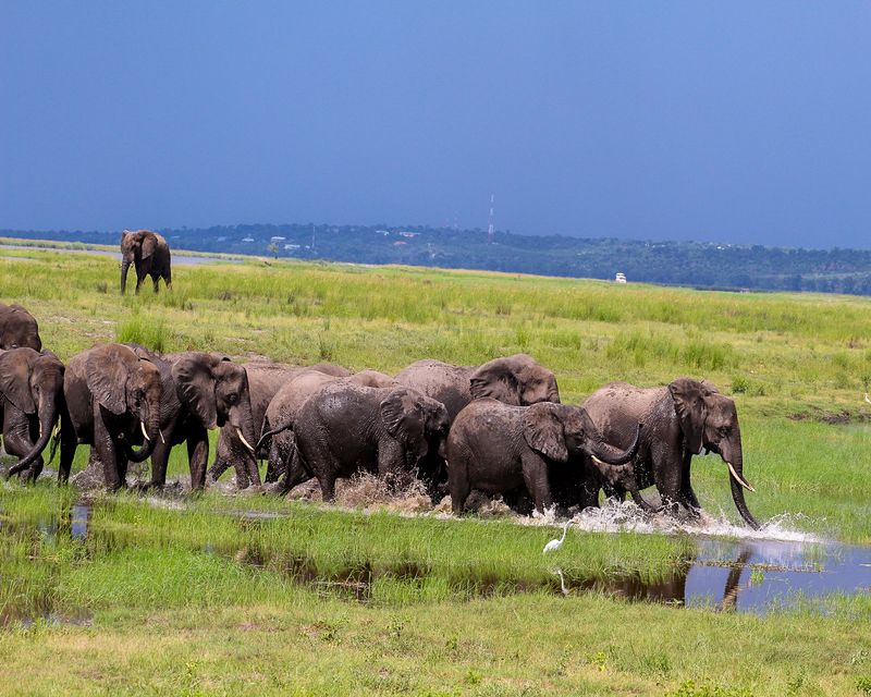 elephants in chobe river