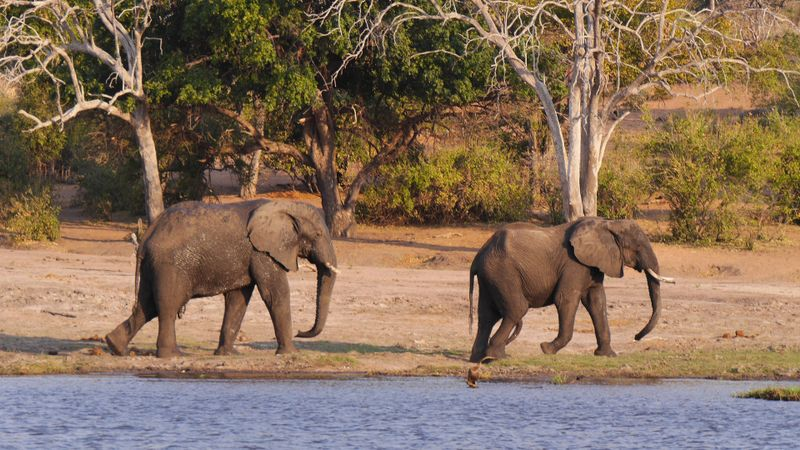 elephants on the bank of chobe river