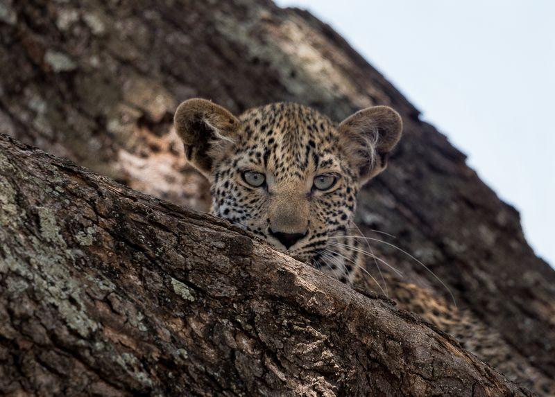 Leopard in Kruger, South Africa