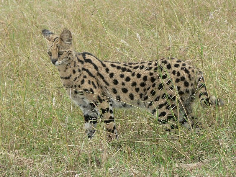 serval in serengeti