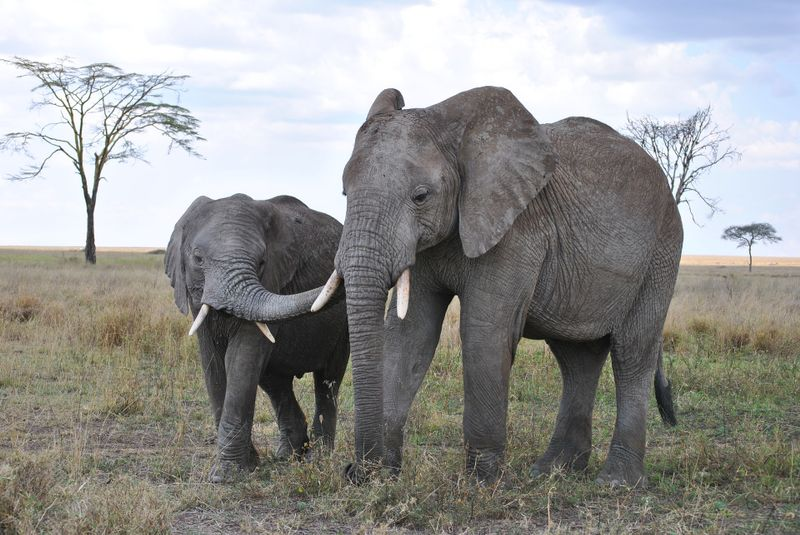 elephants, one of the big five animals