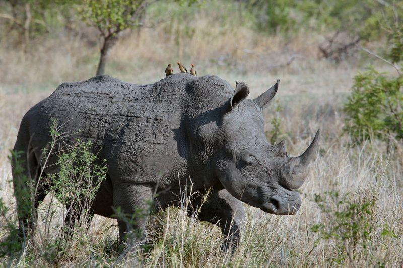 rhino in kurger national park