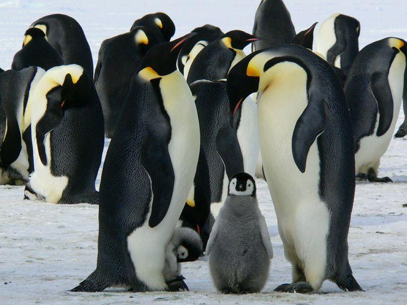 emperor penguin in antartica