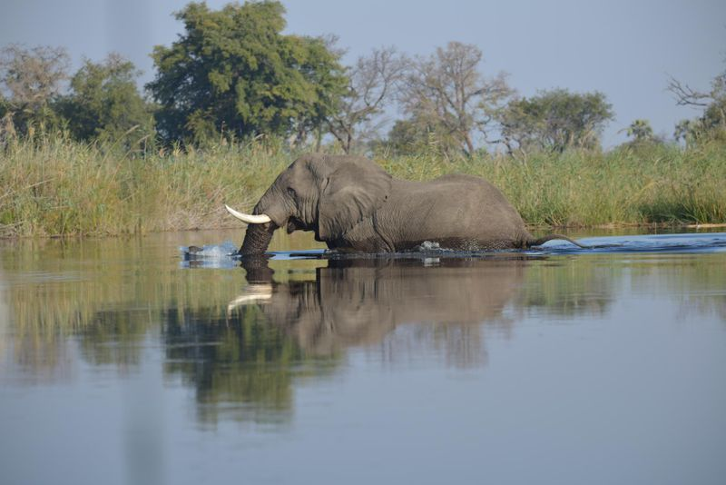 elephant in okavango delta botswana