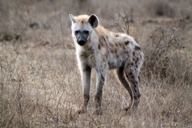 spotted hyena in kruger