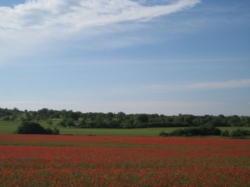 bulgarian field of poppies
