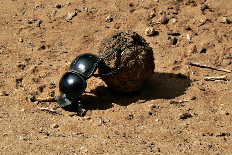 flightless dung beetle in addo