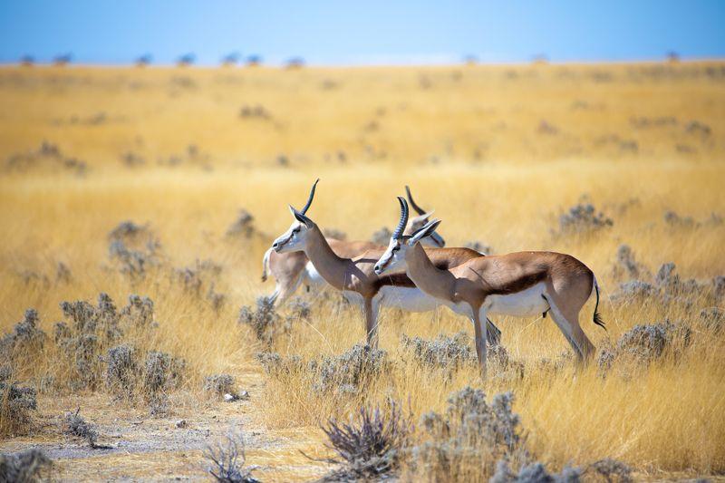 antelopes in namibia