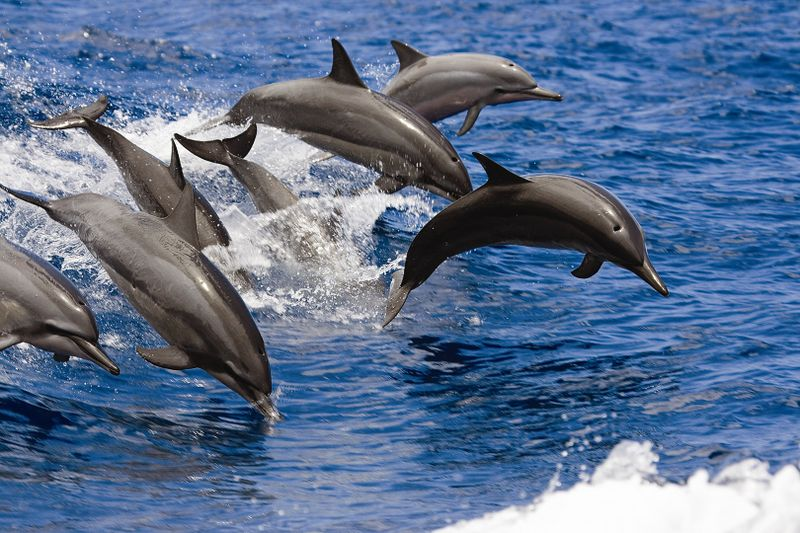 dolphins-hawaii