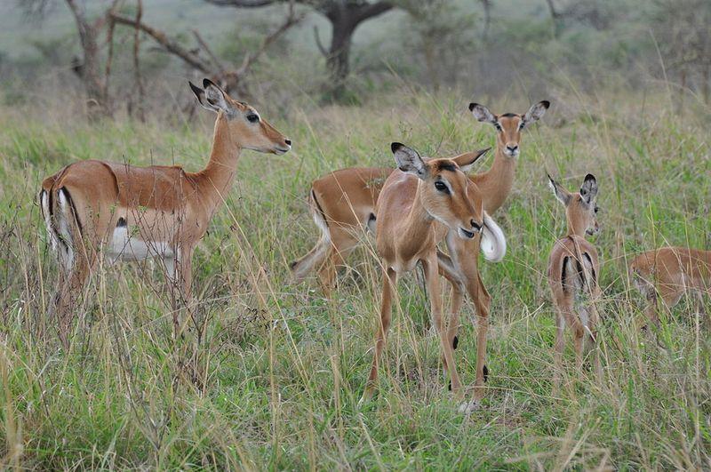 impalas in akagera rwanda