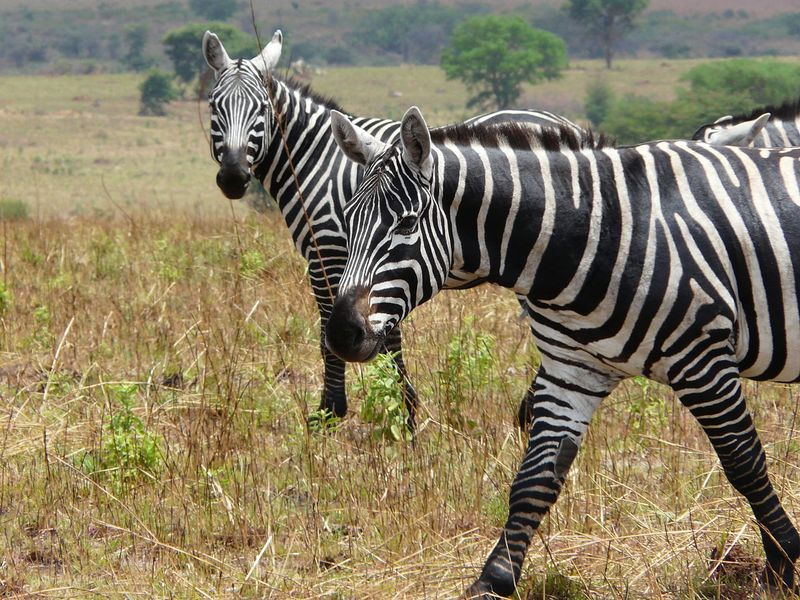 zebras in kidepo valley national park uganda