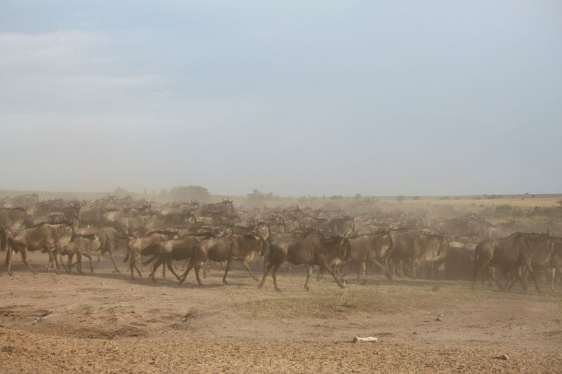 wildebeest migration in serengeti national park tanzania