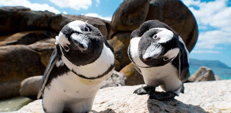 South Africa travel guide - Penguins at Boulders Beach
