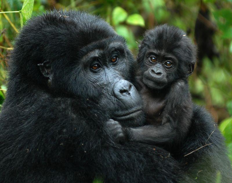 mommy and baby gorilla in bwindi uganda