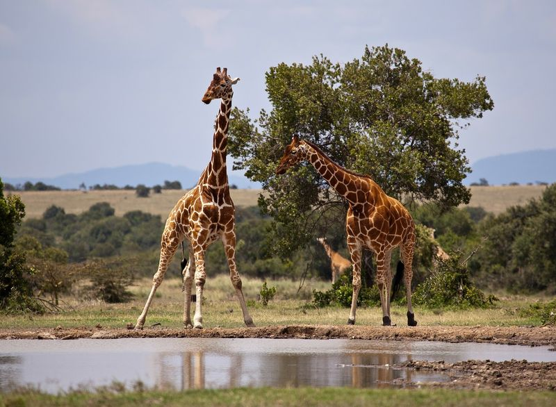 giraffes in samburu national reserve