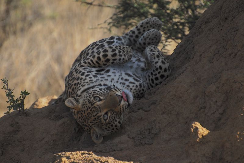 african leopard in serengeti