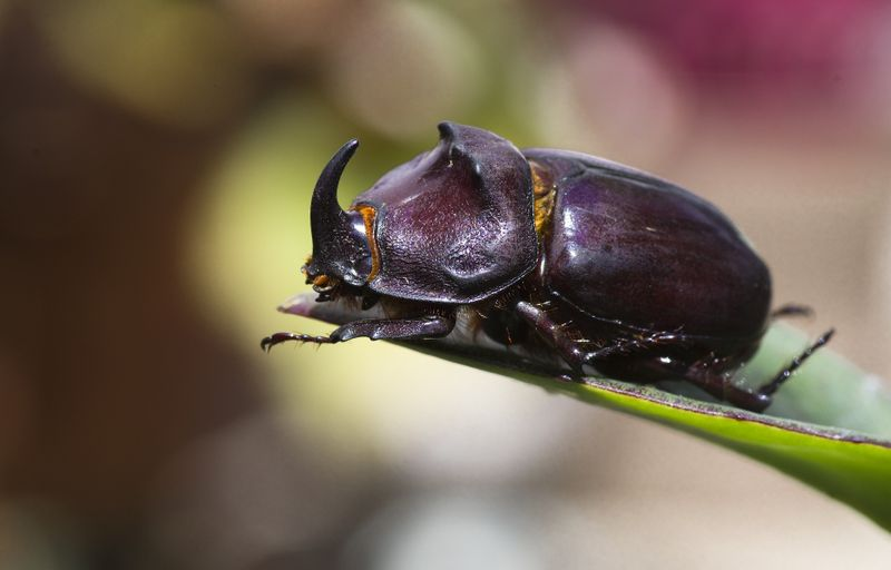The Rhino Beetle