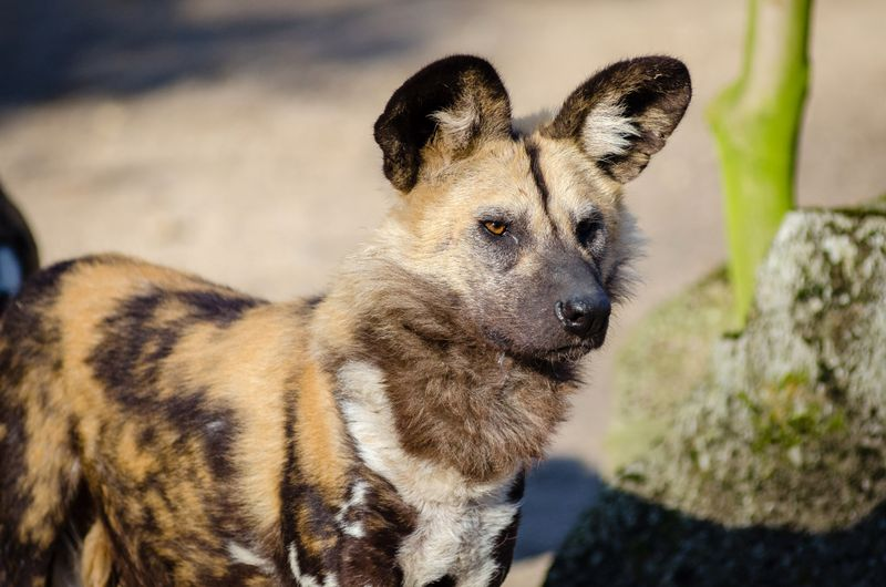 wild dog in serengeti
