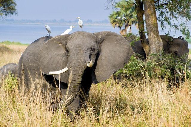 elephant migration safari