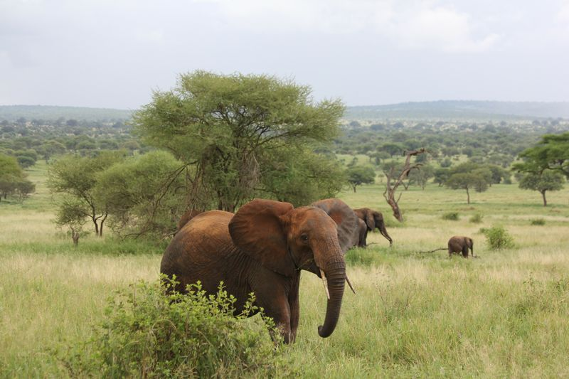 elephant in tarangire national park