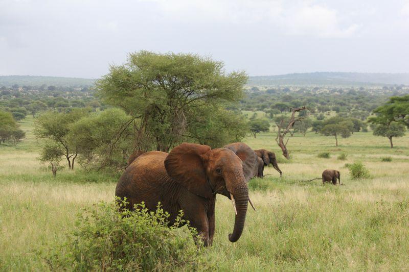 elephant in tarangire national park