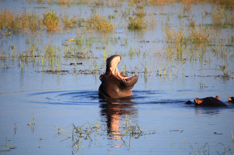 hippo in the river chobe