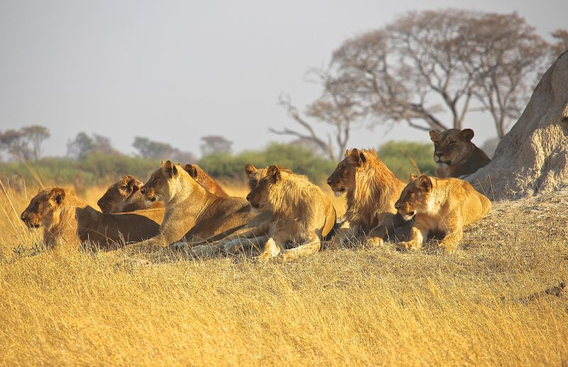 lions in dried grass