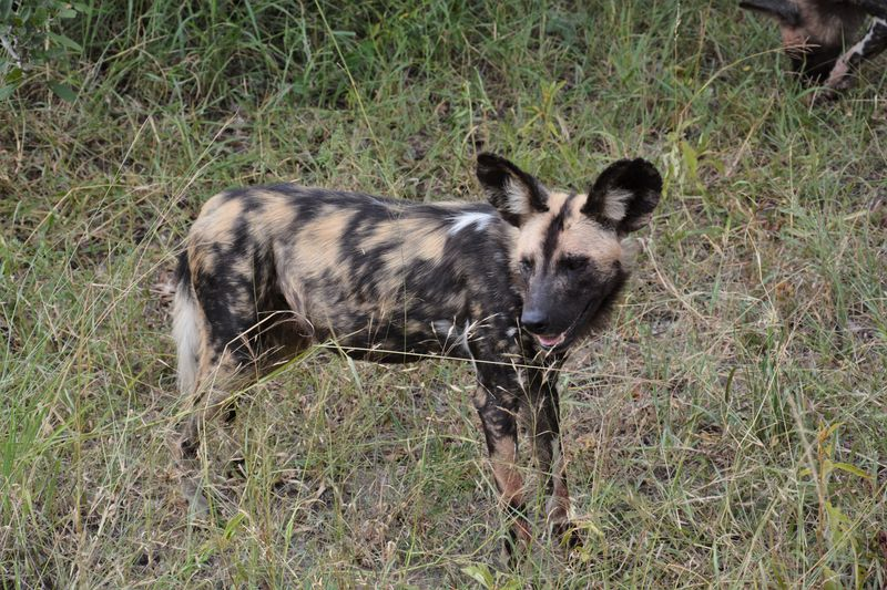 african wild dog in serengeti