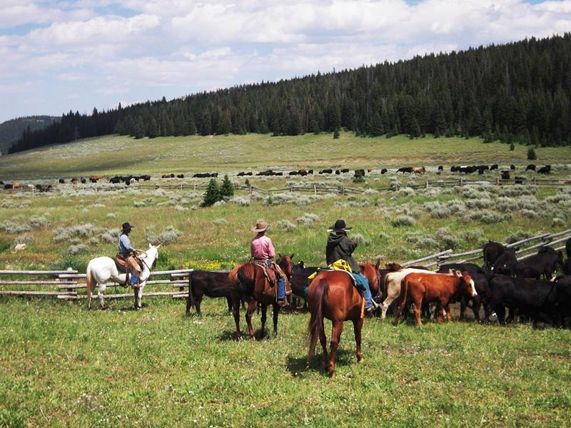 cattle drive Wyoming