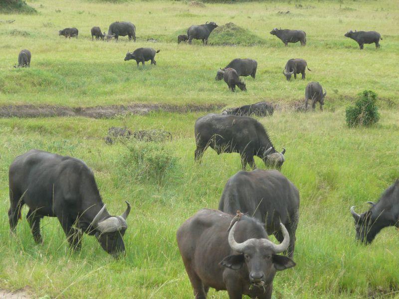 buffaloes in ngorongoro crater tanzania